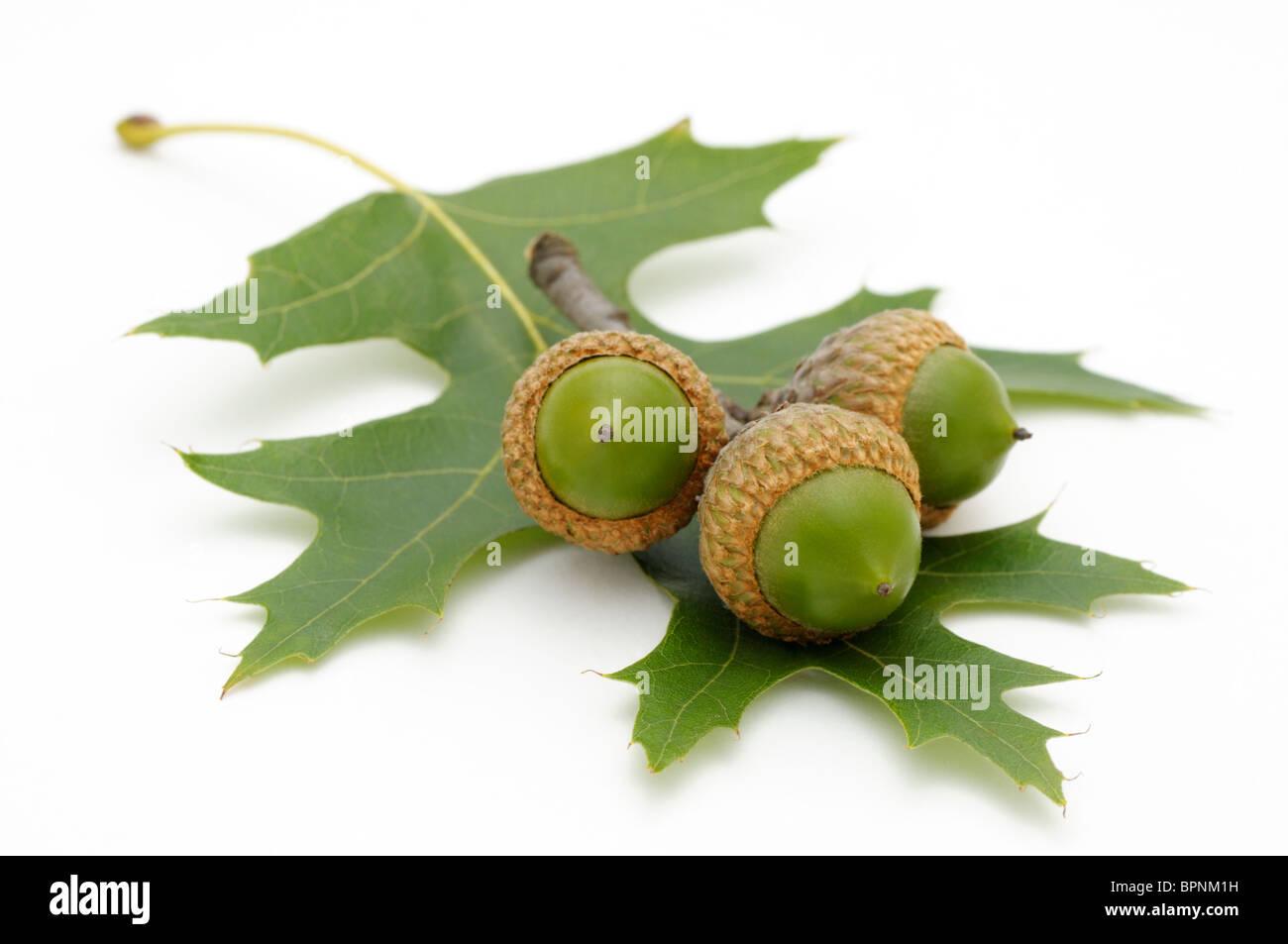 Trois Glands et une feuille de chêne rouge d'Amérique, Quercus rubra. Photo Stock