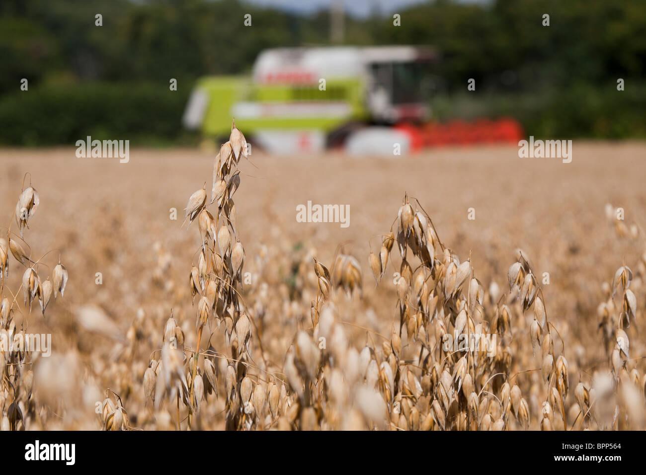De plus en plus de l'avoine dans le champ dans le Gloucestershire, Angleterre Royaume-uni moissonneuse-batteuse Photo Stock