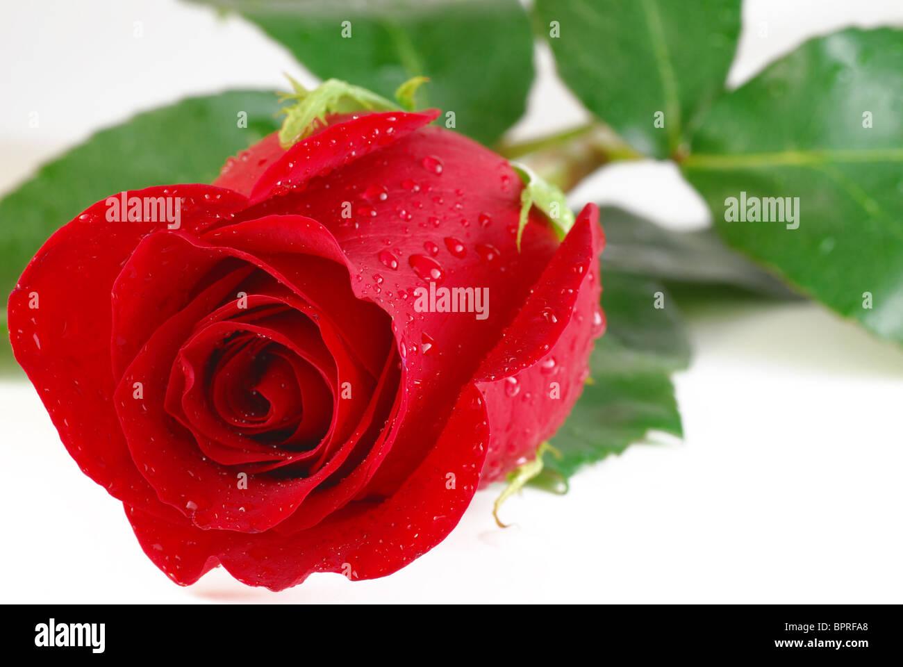 Rose rouge avec des gouttes sur fond blanc Photo Stock