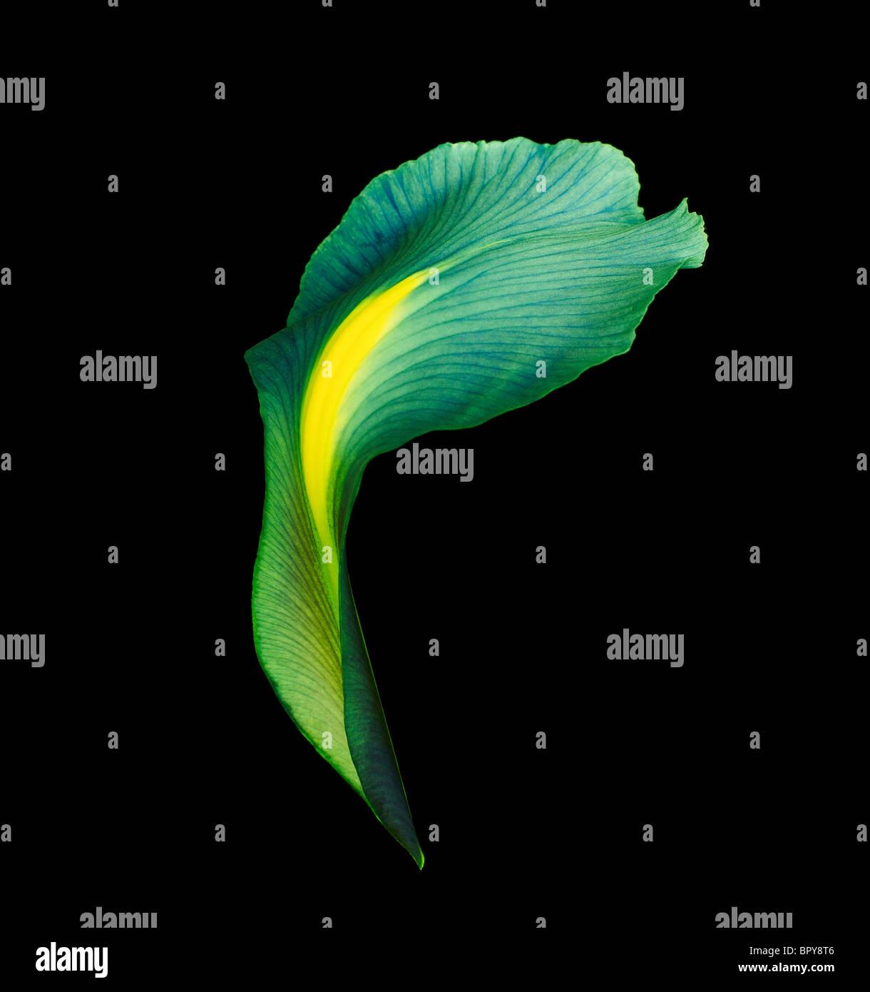 Un pétale d'Iris allumé de façon spectaculaire et tourné sur un fond noir Photo Stock