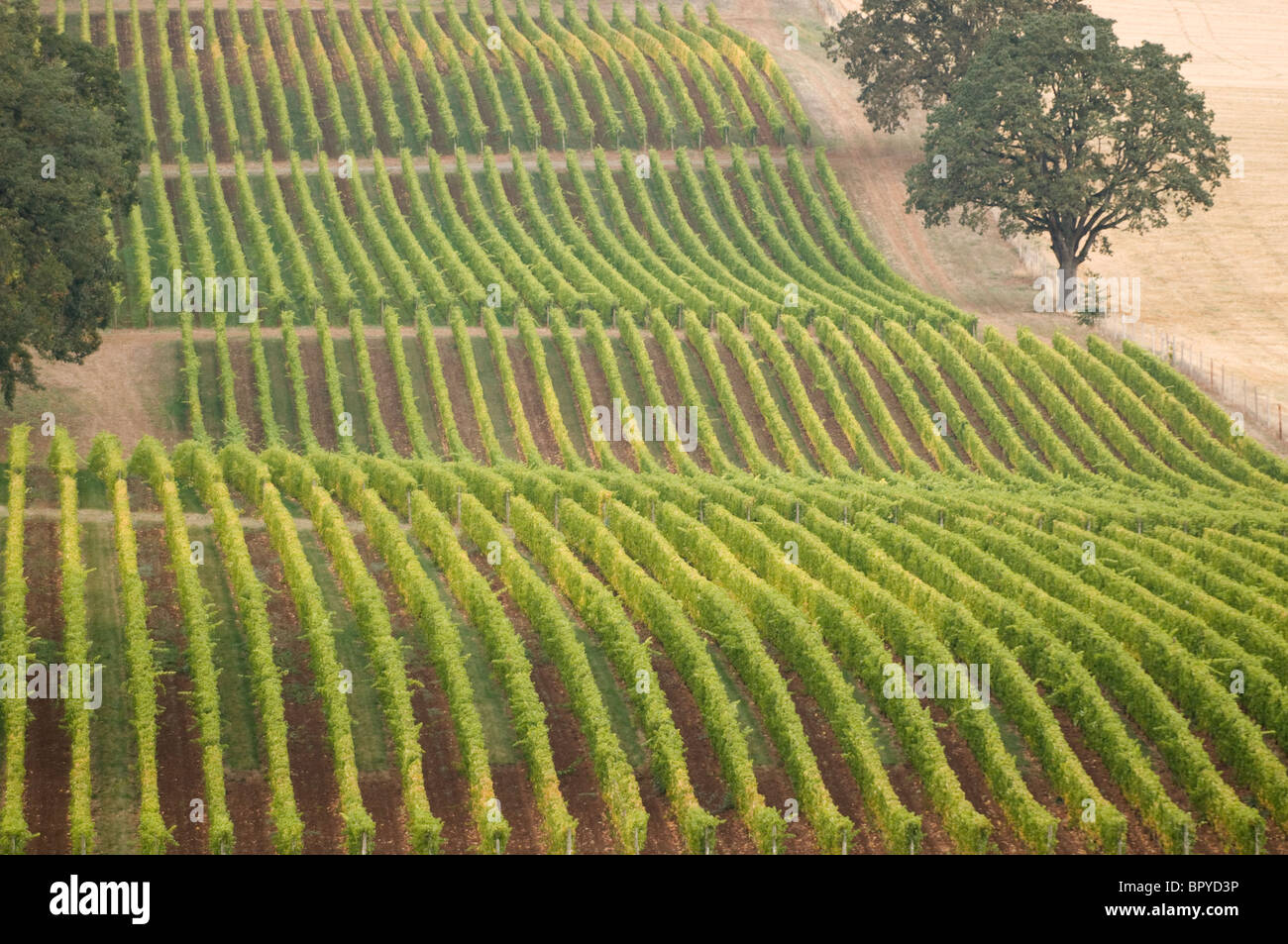 Chênes et vignes près de McMinnville, Willamette Valley, Oregon Photo Stock