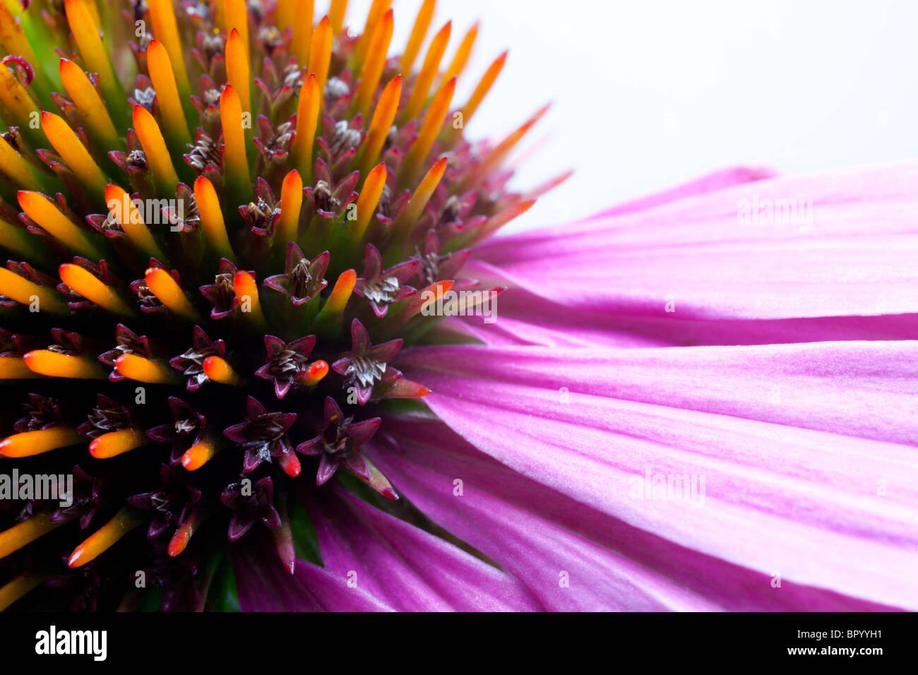 Echinacea Photo Stock