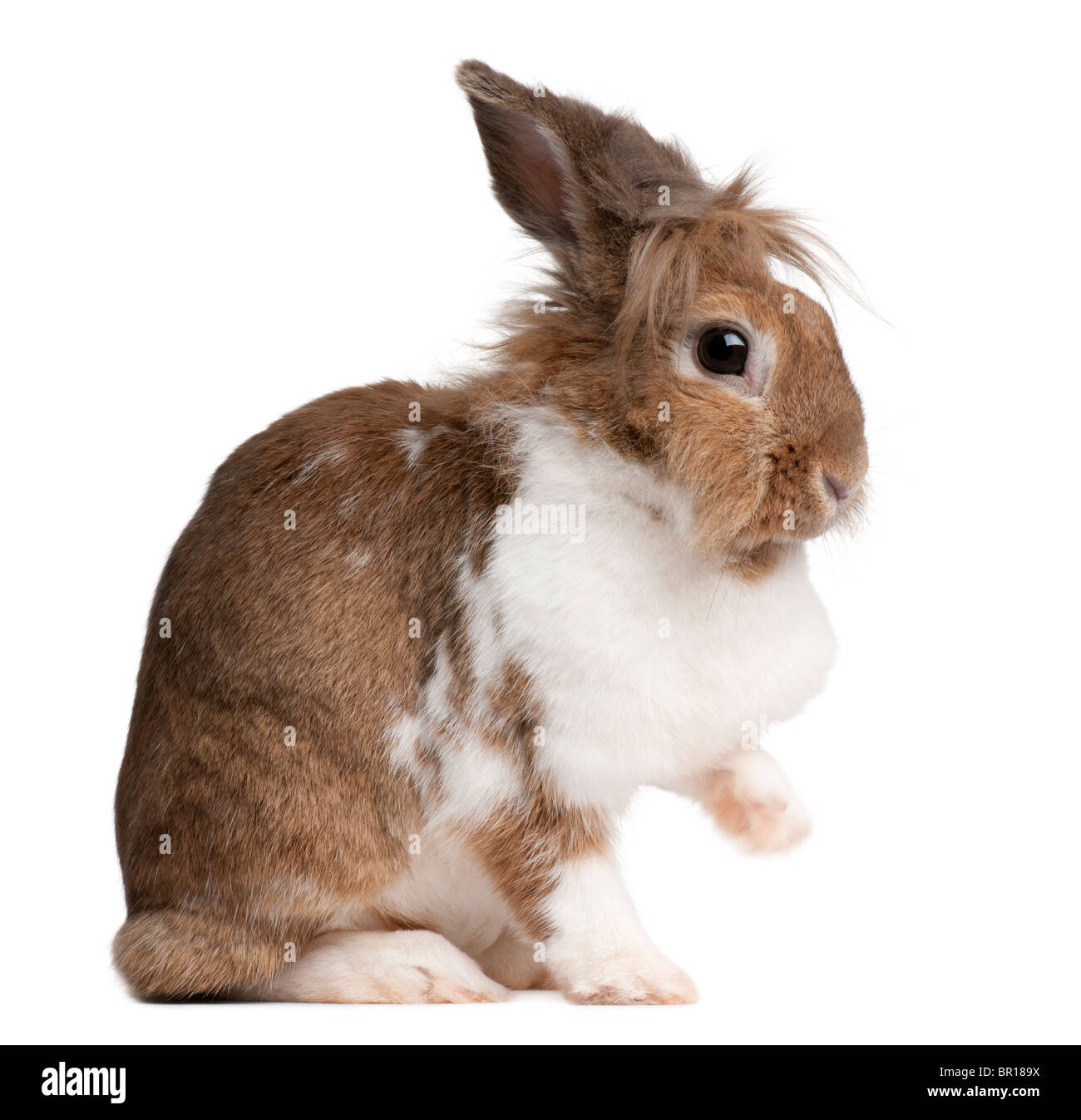 Portrait d'un lapin de garenne, Oryctolagus cuniculus, in front of white background Photo Stock