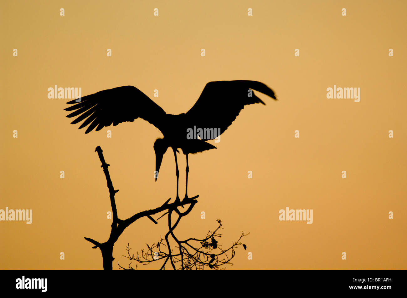 Marabou stork (crumeniferus Flamant rose (Phoenicopterus ruber), Parc national de Tarangire, Tanzanie Photo Stock