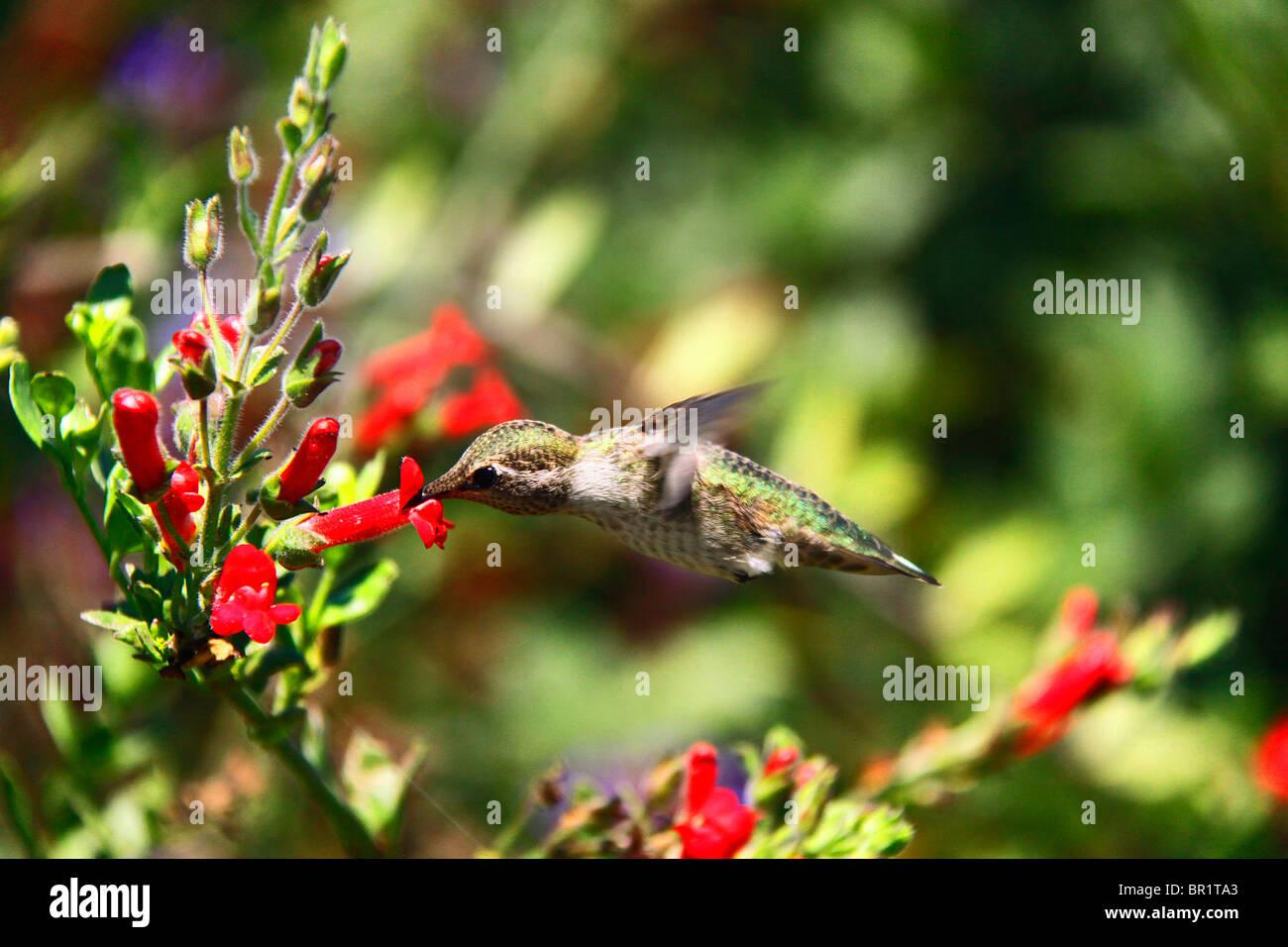 Humming Bird, planant, Nectar. Mignon. Photo Stock