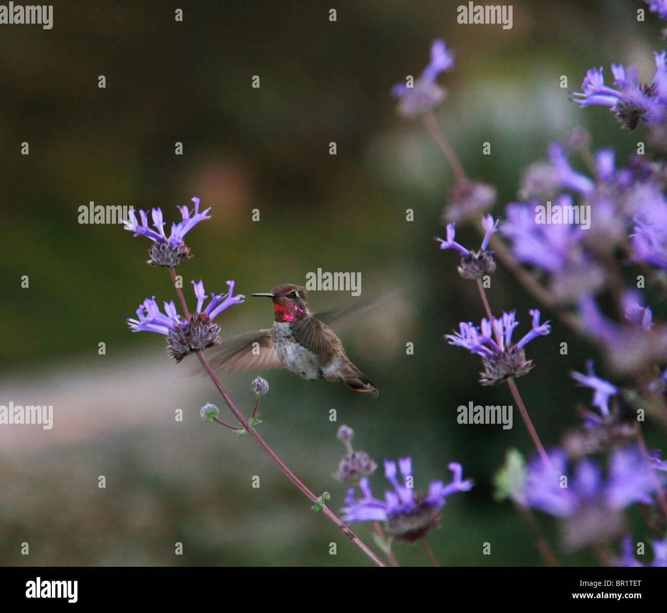 Humming Bird, planant, Nectar. Photo Stock