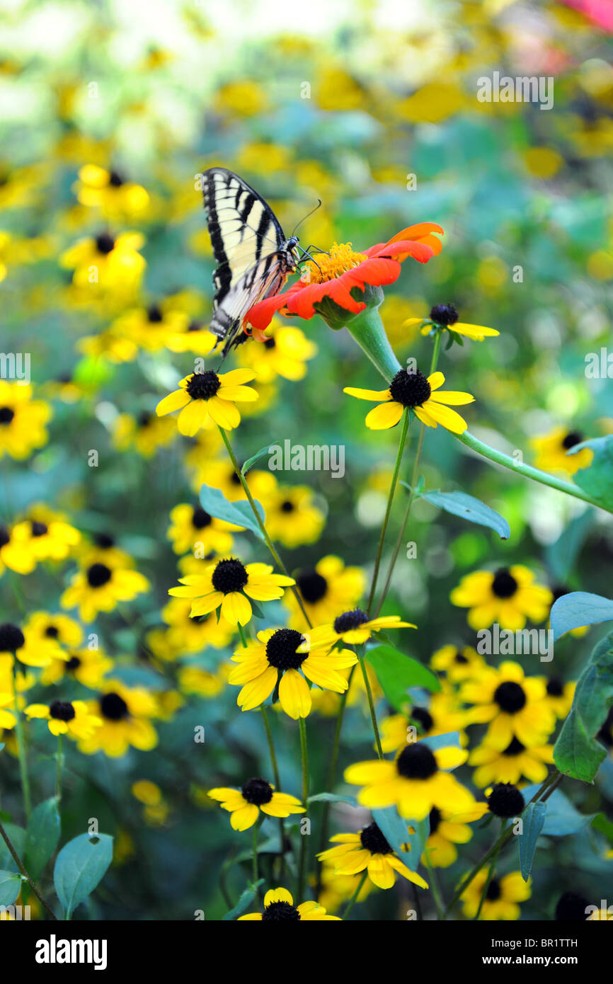 Easter Tiger Swallowtail butterfly sur fleurs jaune Banque D'Images