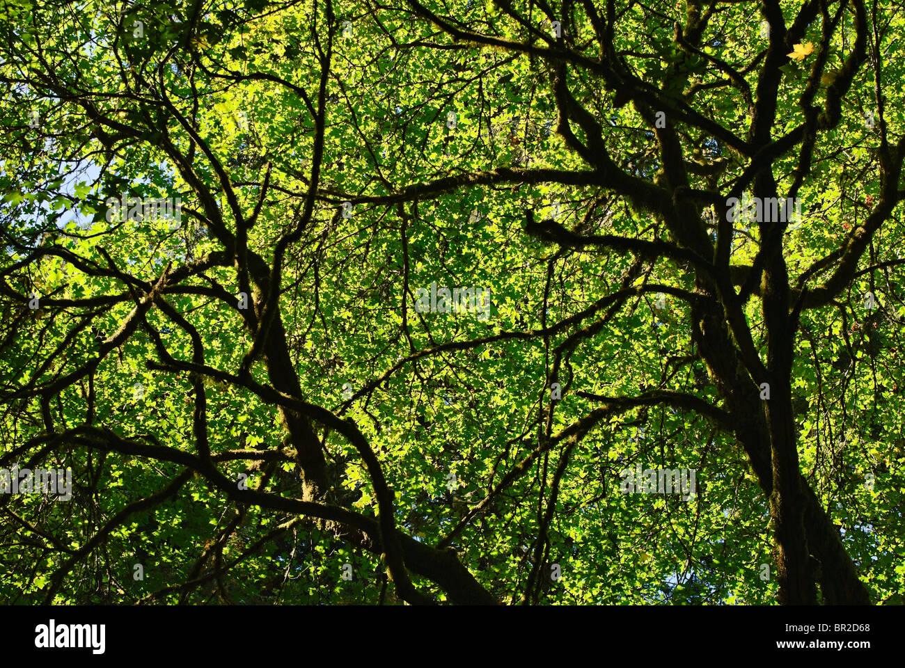 Les arbres en contre-jour avec la lumière du soleil en Californie. Photo Stock