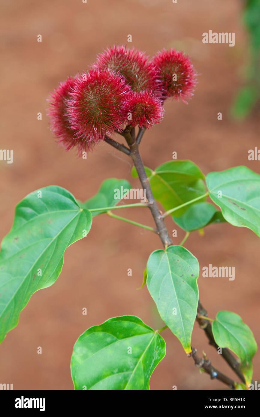 arbre à rouge à lèvres l/'arbre d/'Orléans 15 graines Bixa Orellana
