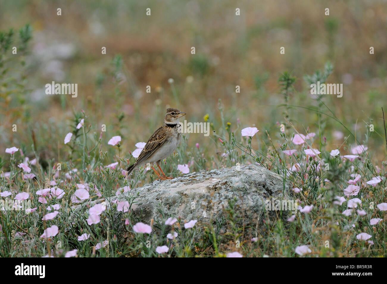 Calandre (Melanocorypha calandra) perché sur la roche sur le sol, la Bulgarie Photo Stock
