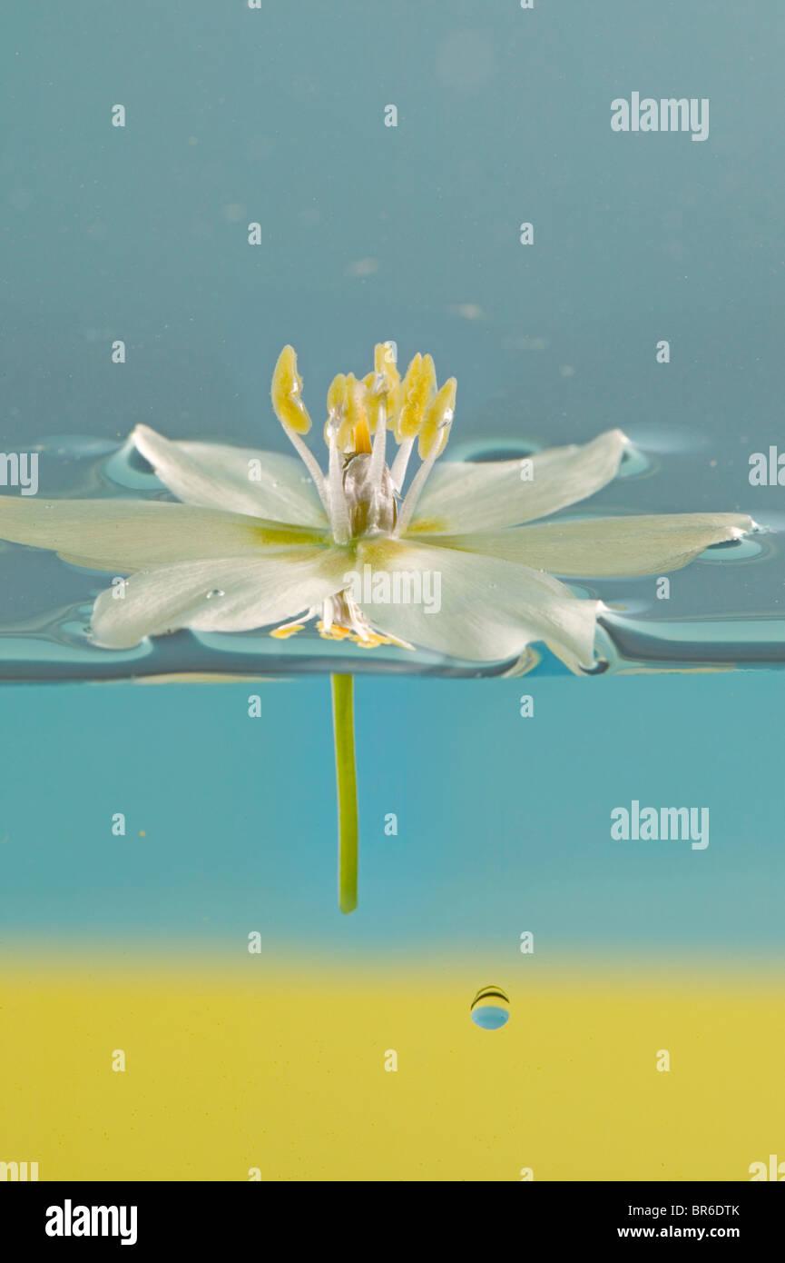 Fleur blanche flottant dans l'eau Photo Stock
