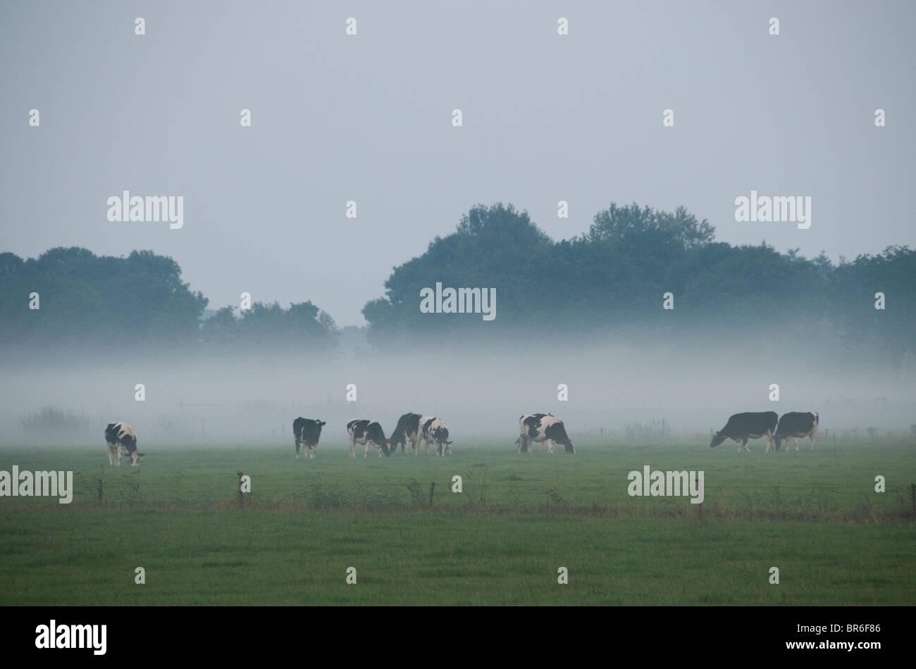 Friesland Pays-bas agriculture Ferme vaches vache le brouillard Photo Stock
