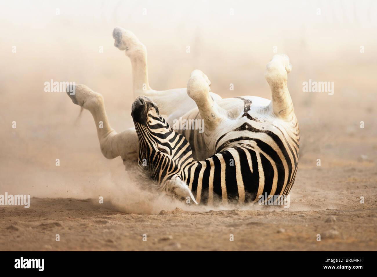 Zebra roulant sur le sable poussiéreux tôt le matin; le parc d'Etosha Photo Stock