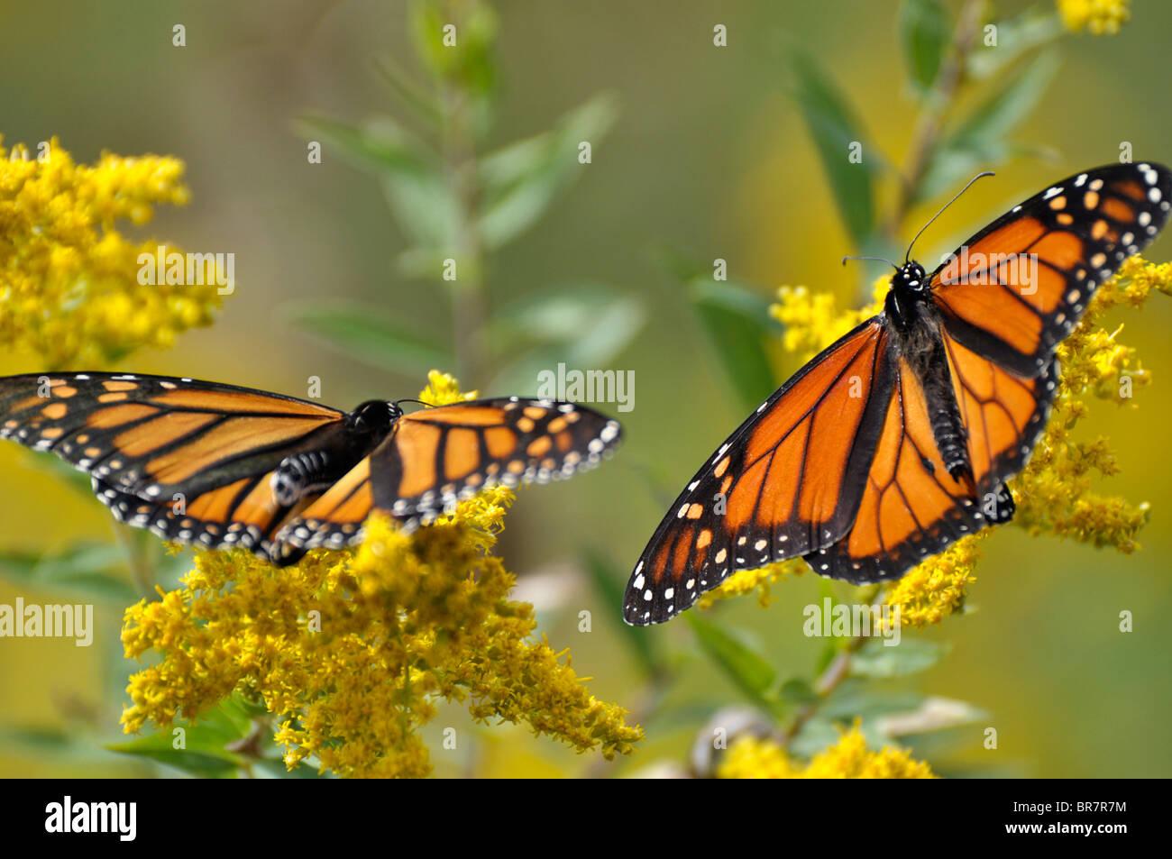 Les papillons monarques Photo Stock