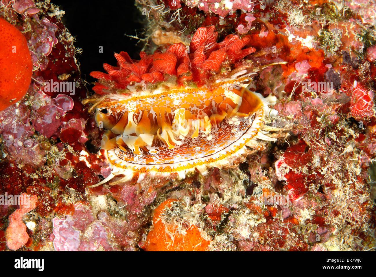 Spondylus ou coquille d'huître épineuse géant, Spondylus varius, montrant le manteau. Précédemment Photo Stock