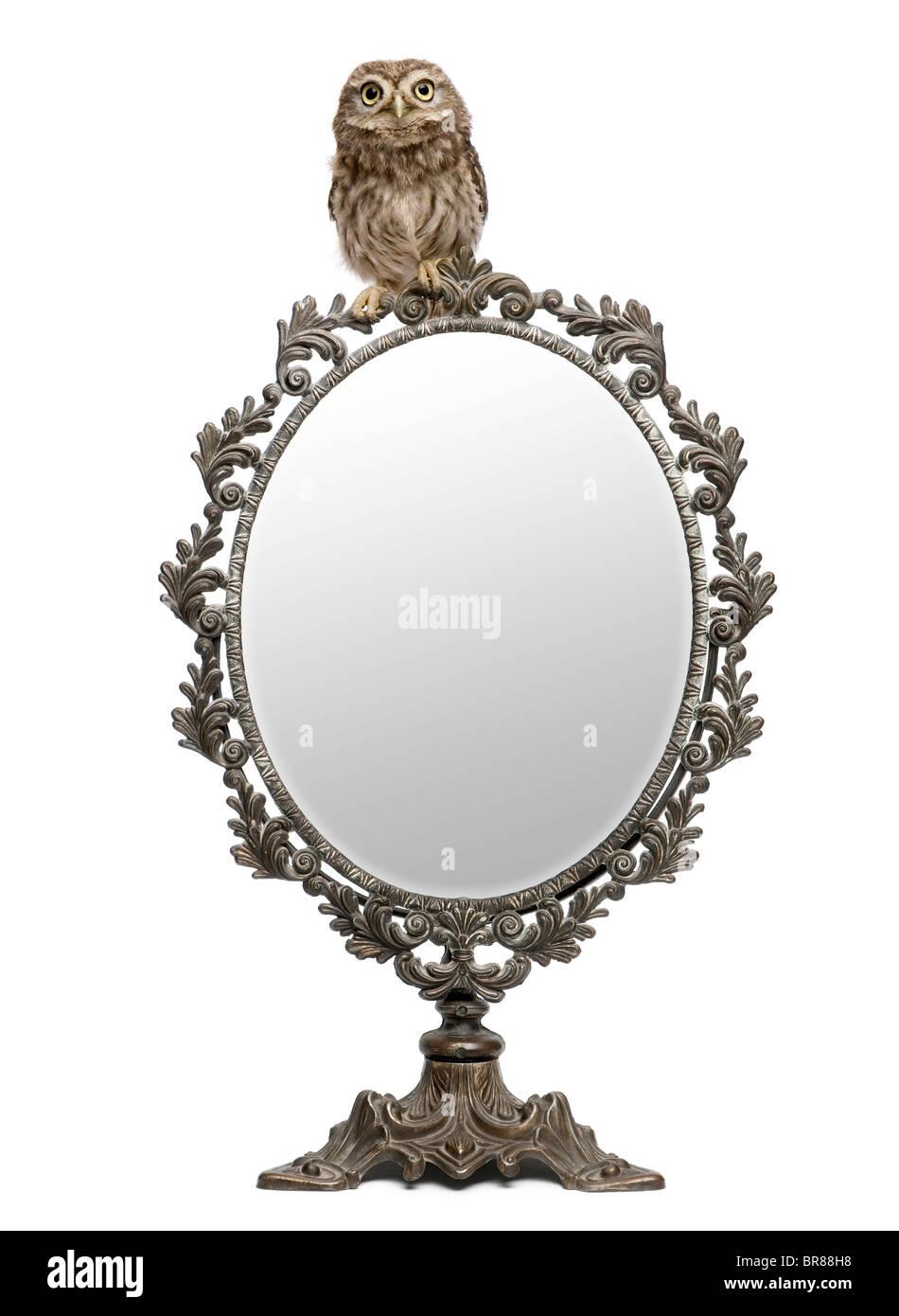 Petit hibou, 50 jours, Athene noctua, devant un fond blanc avec un miroir Photo Stock