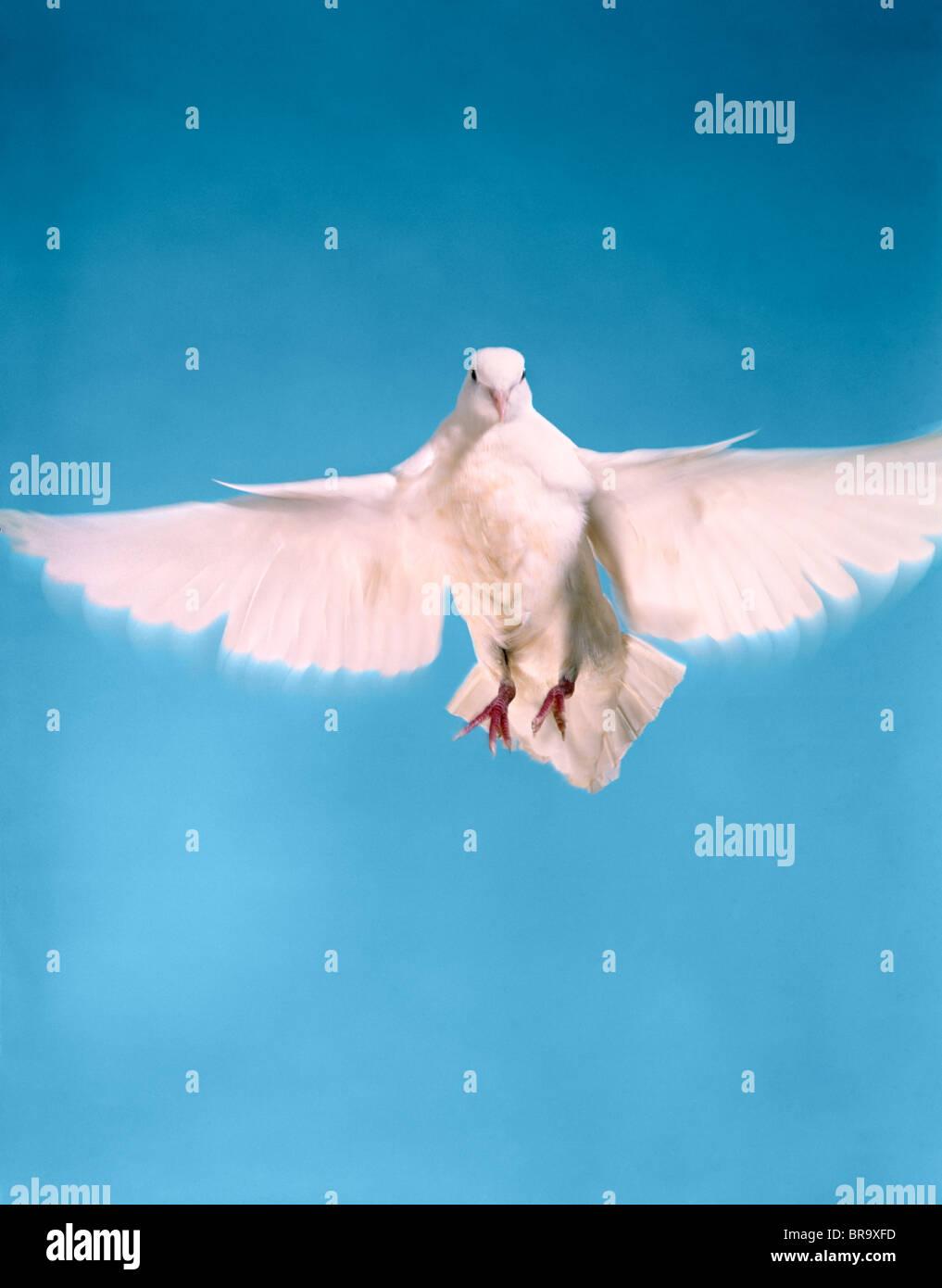 Avec une envergure de colombe Photo Stock