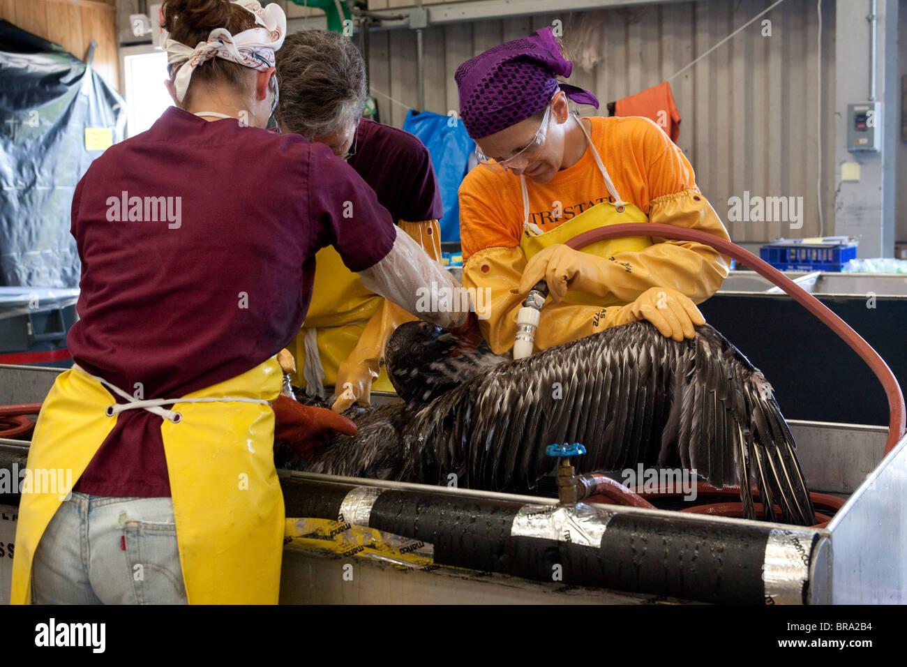 Les pélicans couverts d'huile provenant du déversement de pétrole de la plateforme Deepwater Horizon sont nettoyées Banque D'Images