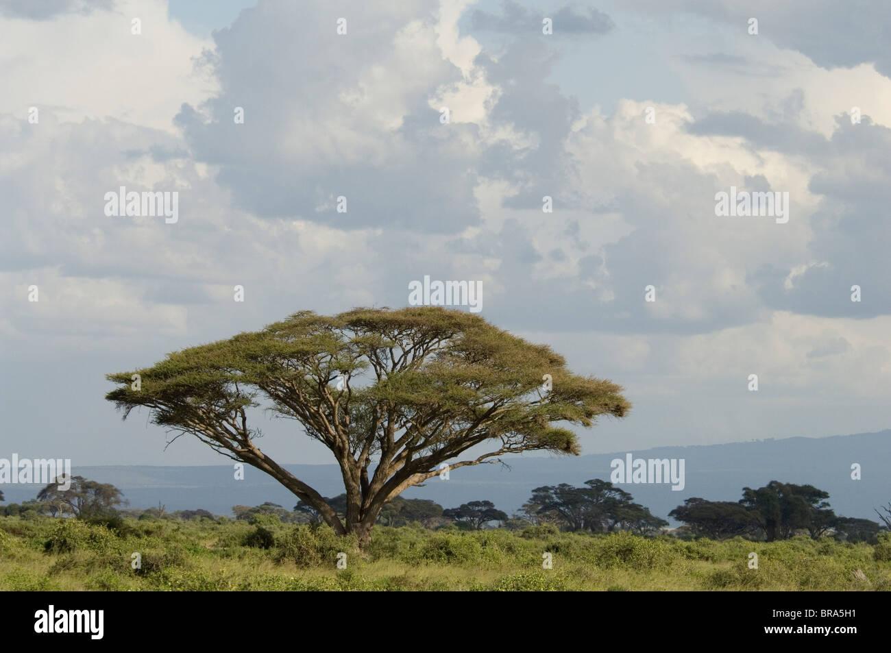 ACACIA pittoresque du PARC NATIONAL D'AMBOSELI KENYA AFRIQUE Photo Stock