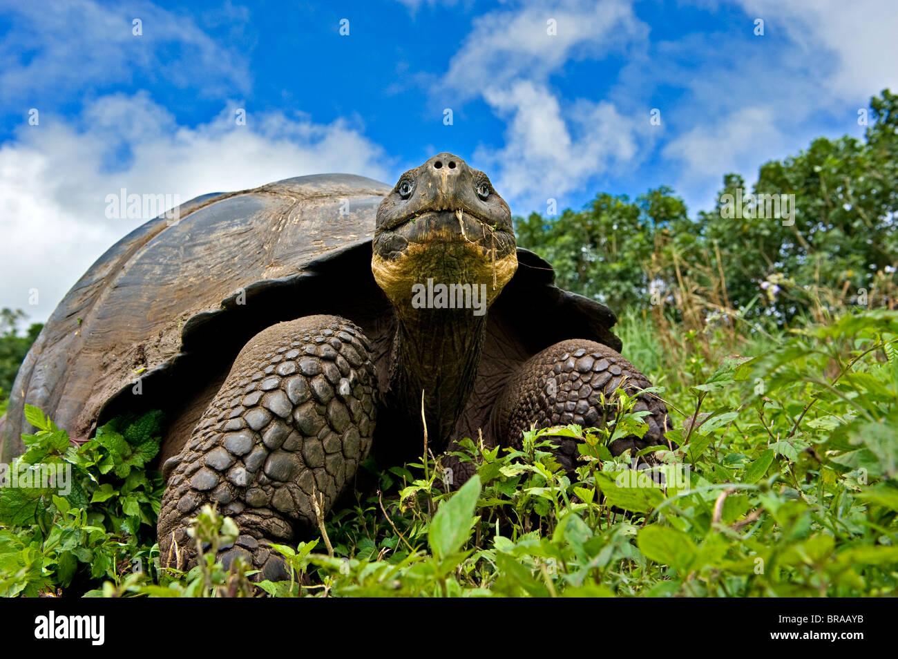 Tortue géante des Galapagos (Geochelone elephantopus / nigra) alimentation adultes, Santa Cruz, Galapagos Photo Stock