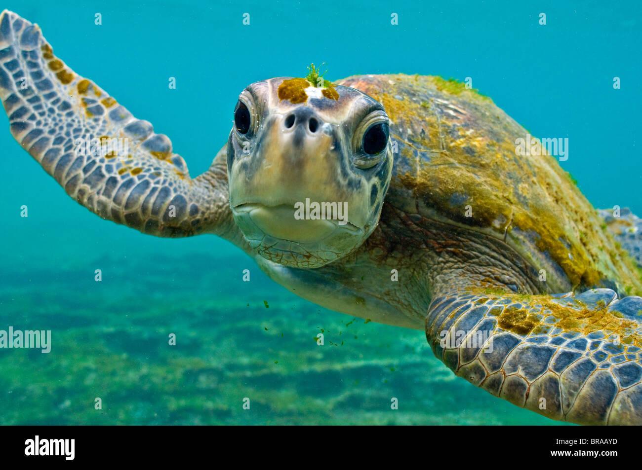 Les Galapagos tortue verte (Chelonia mydas agassisi) portrait sous l'eau, remarque algues poussant sur la tête Photo Stock