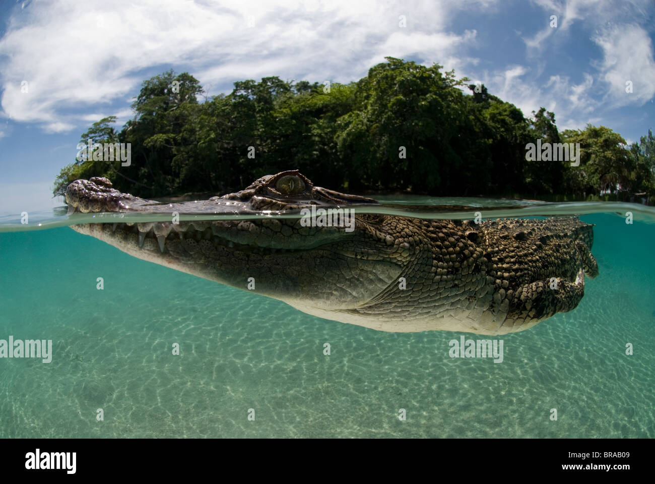 Saltwater crocodile (Crocodylus porosus) nager à la surface de l'eau, en duplex, Nouvelle Guinée, Photo Stock