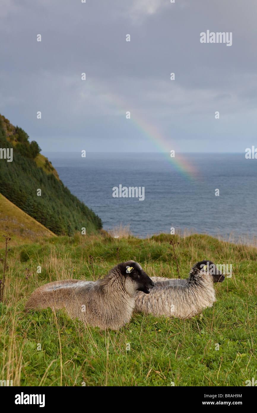 Les moutons reposant sur l'herbe verte sur l'île de Runde sur la côte ouest de l'Atlantique, Møre og Romsdal (Norvège). Banque D'Images
