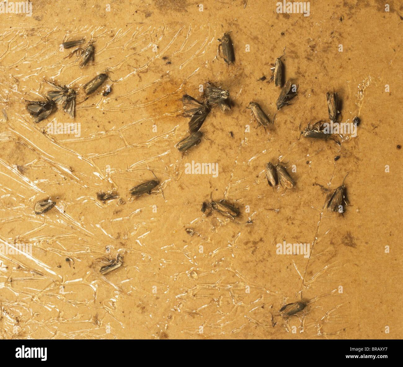 Les papillons mâles pea (Cydia nigricana) pris dans un piège à pherome à évaluer le nombre Photo Stock
