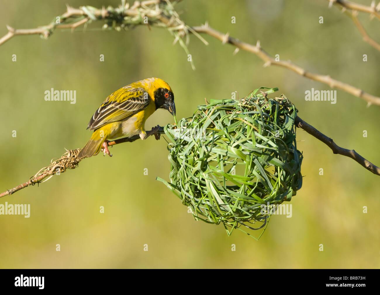 Le sud de Masked Weaver Ploceus velatus Montagnes Cederberg Cape Afrique du Nord du Namaqualand Photo Stock