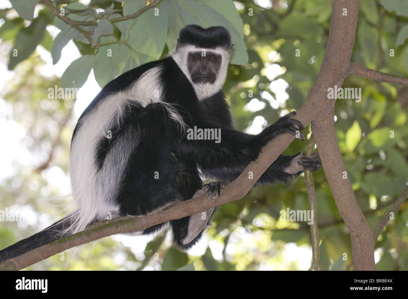 Singe colobus noir et blanc (Colobus satanas), l'Ethiopie Photo Stock