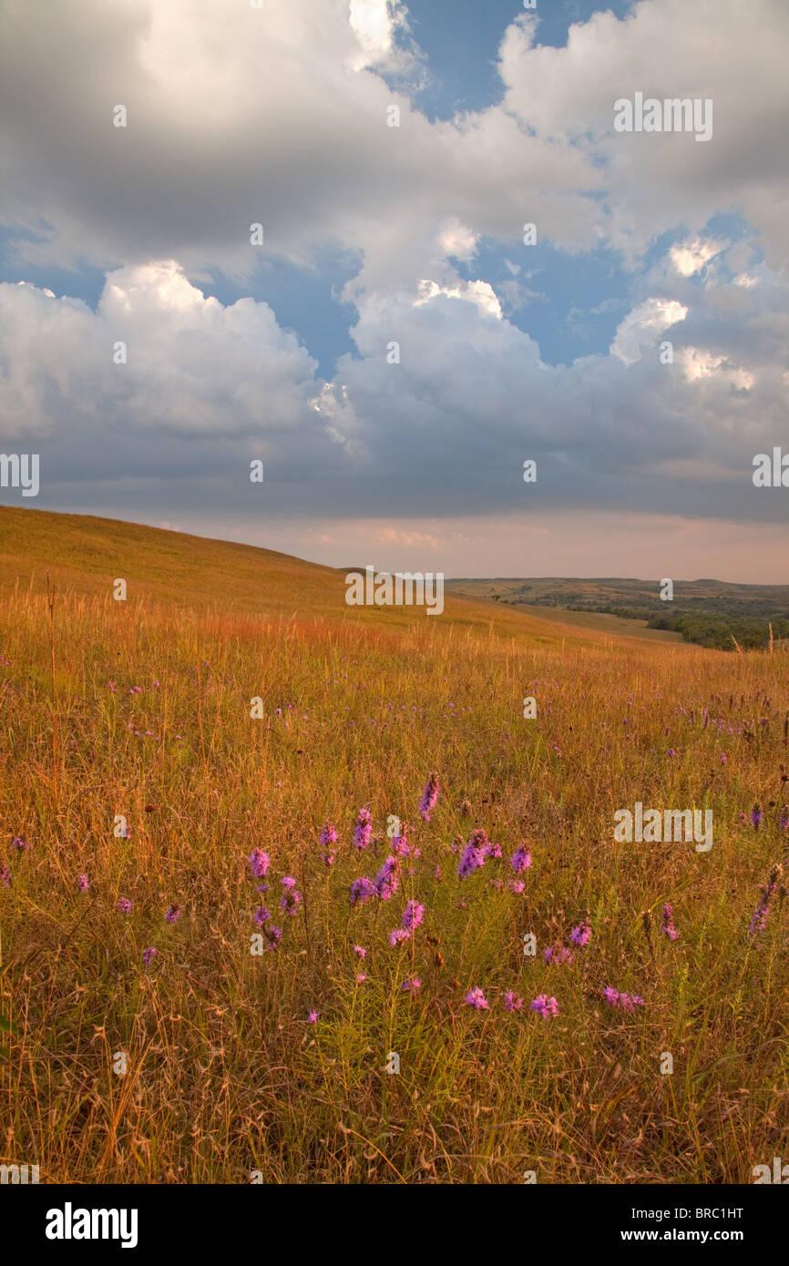 Dans Blazing Star des prairies à herbes hautes, Konza Prairie, Kansas Photo Stock