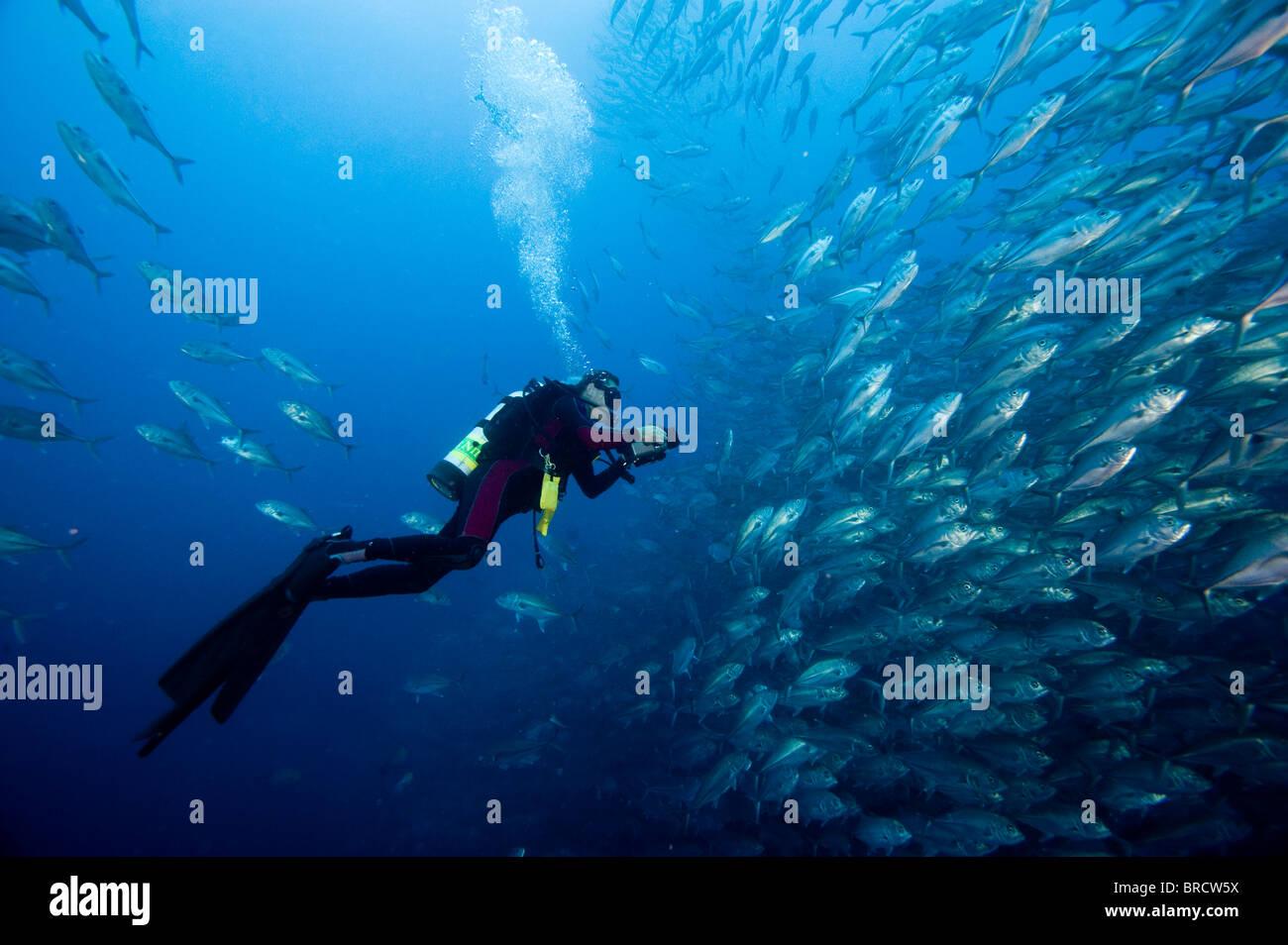 L'école de thon obèse, jackfish Caranx sexfasciatus, Cocos Island, du Costa Rica, de l'Océan Photo Stock