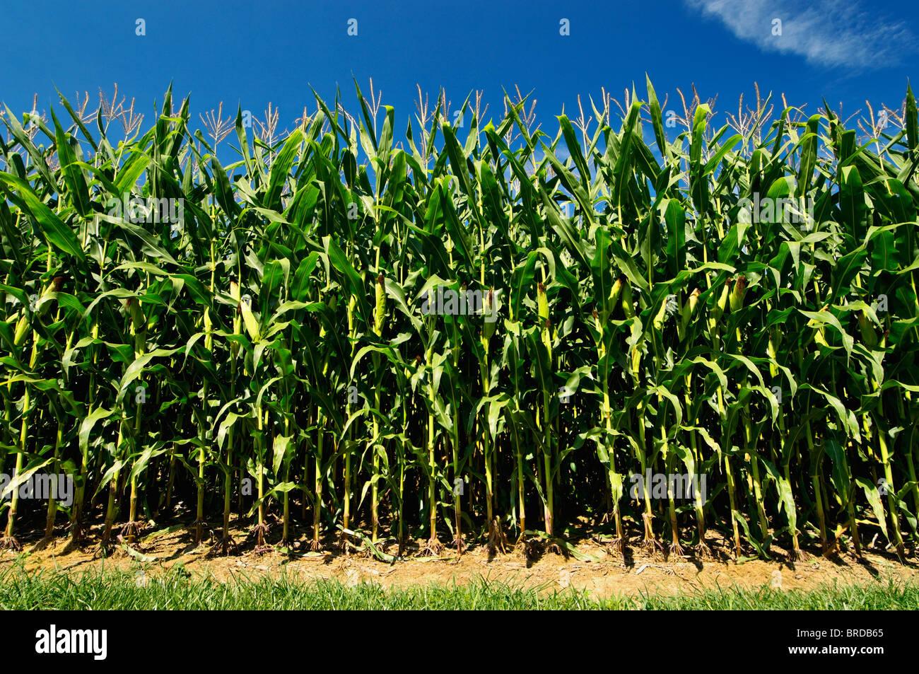 Dans le champ de maïs à Starlight, Indiana Photo Stock