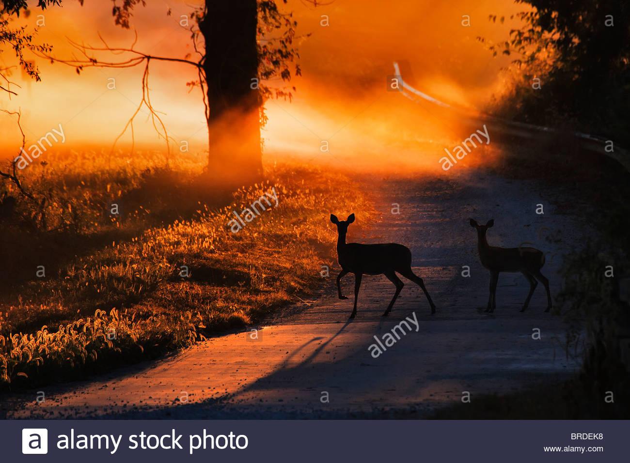 Biche et faon Cerf de virginie traversant une route de campagne au lever du soleil Photo Stock