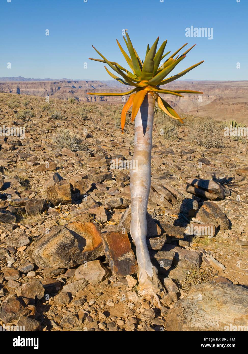 Les jeunes arbres carquois (aloe dichotoma) à Fish River Canyon, Namibie, Afrique Photo Stock