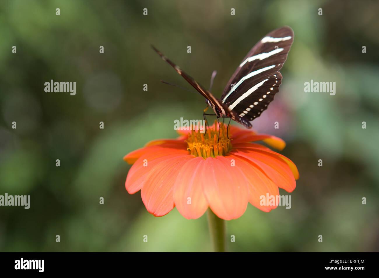 Papillon zebra nectar potable à partir d'un zinnia fleur, rayures noires et blanches, la paix, la paix, la nature Banque D'Images