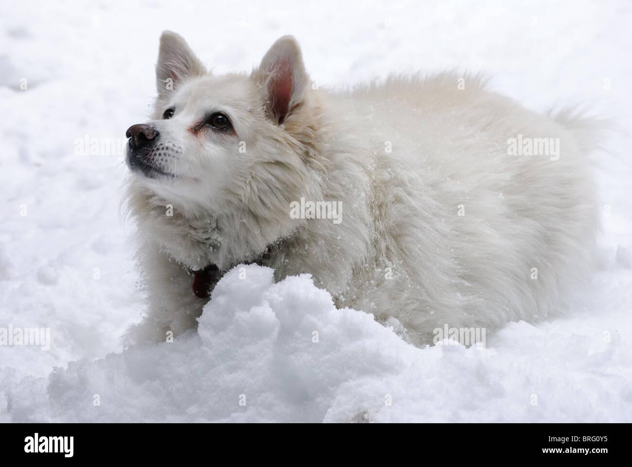 Un chien Husky Américain blanc dans la neige ressemble à beseechingly sa propriétaire Banque D'Images