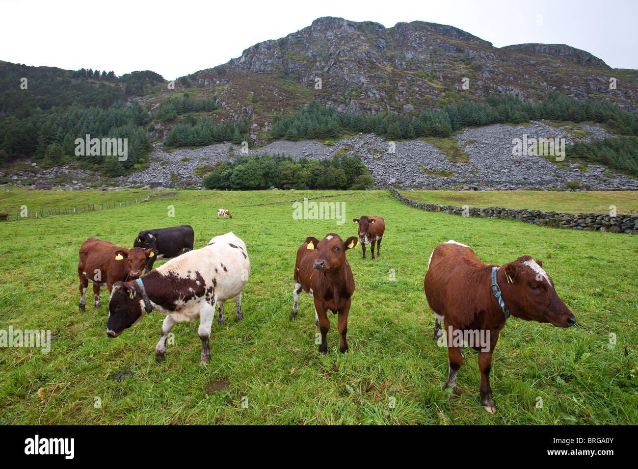 De bovins de l'espèce « Vestlandsk Fjordfe' sur l'île de Runde sur la côte ouest Photo Stock