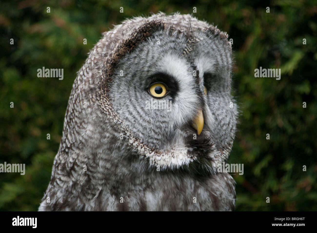 Portrait d'une Chouette lapone Laponie ou Owl - Strix nebulosa Banque D'Images