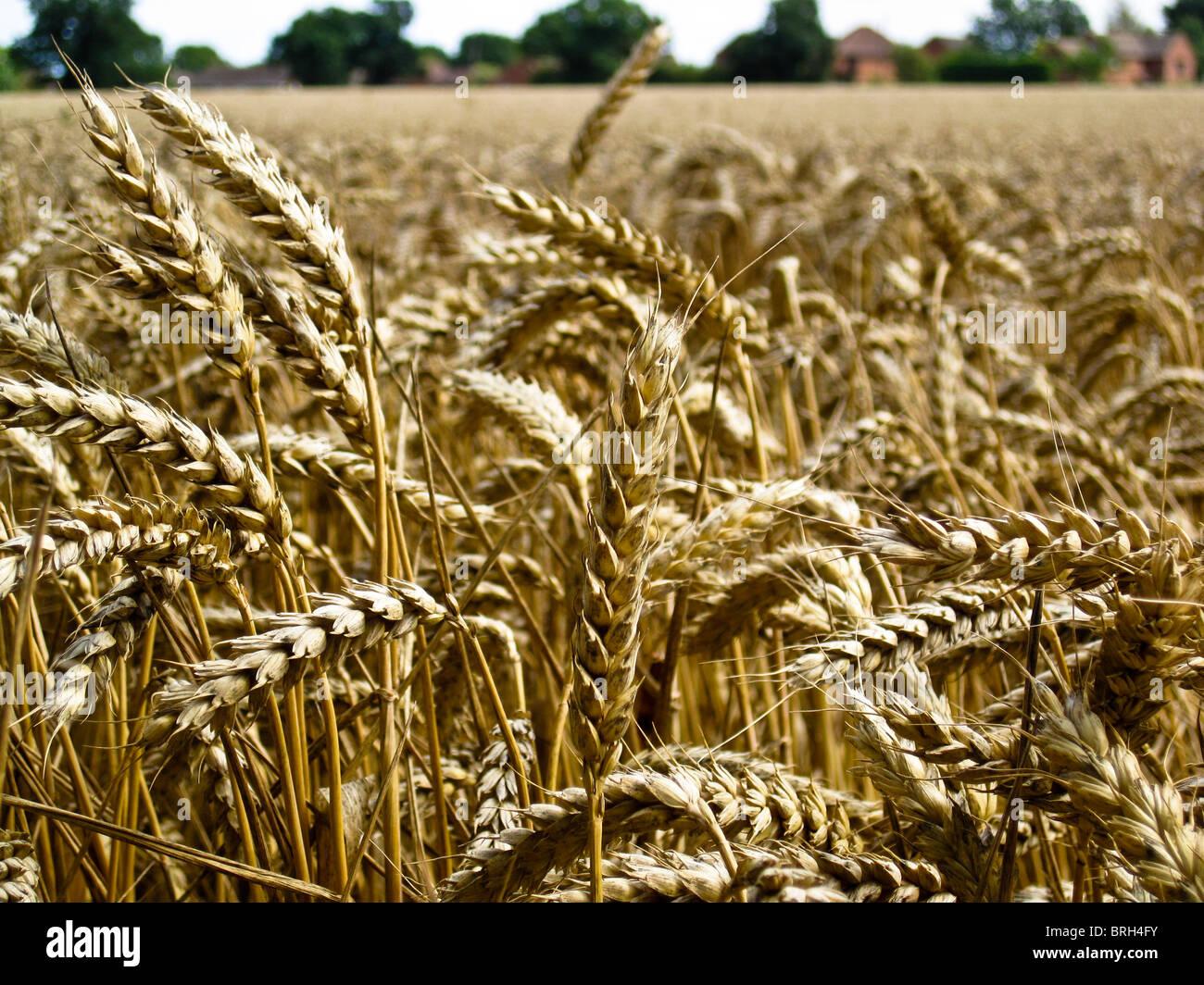 De nombreux chefs de maïs dans le champ prêt pour la récolte Photo Stock