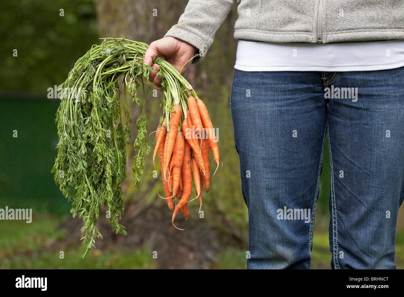 Femme tenant un bouquet de carottes biologiques fraîchement cueillies du jardin. Winnipeg, Manitoba, Canada. Photo Stock