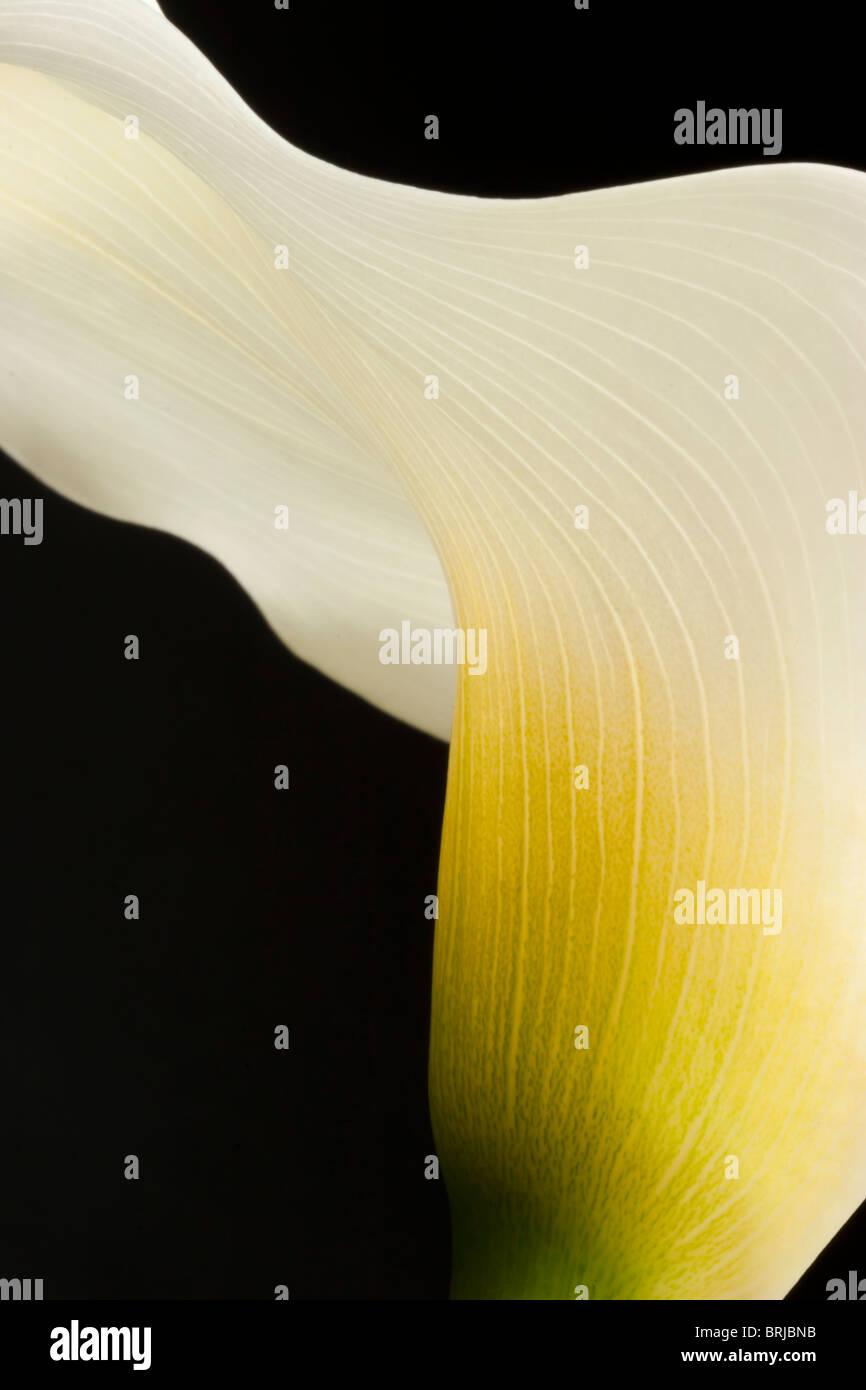 Close up of montrant d'arum translucide Photo Stock