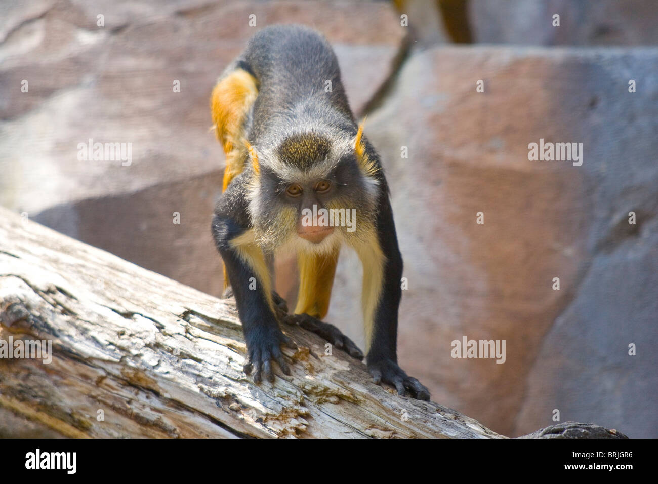 Henry Doorly Zoo - Wolf's Mona Monkey Photo Stock
