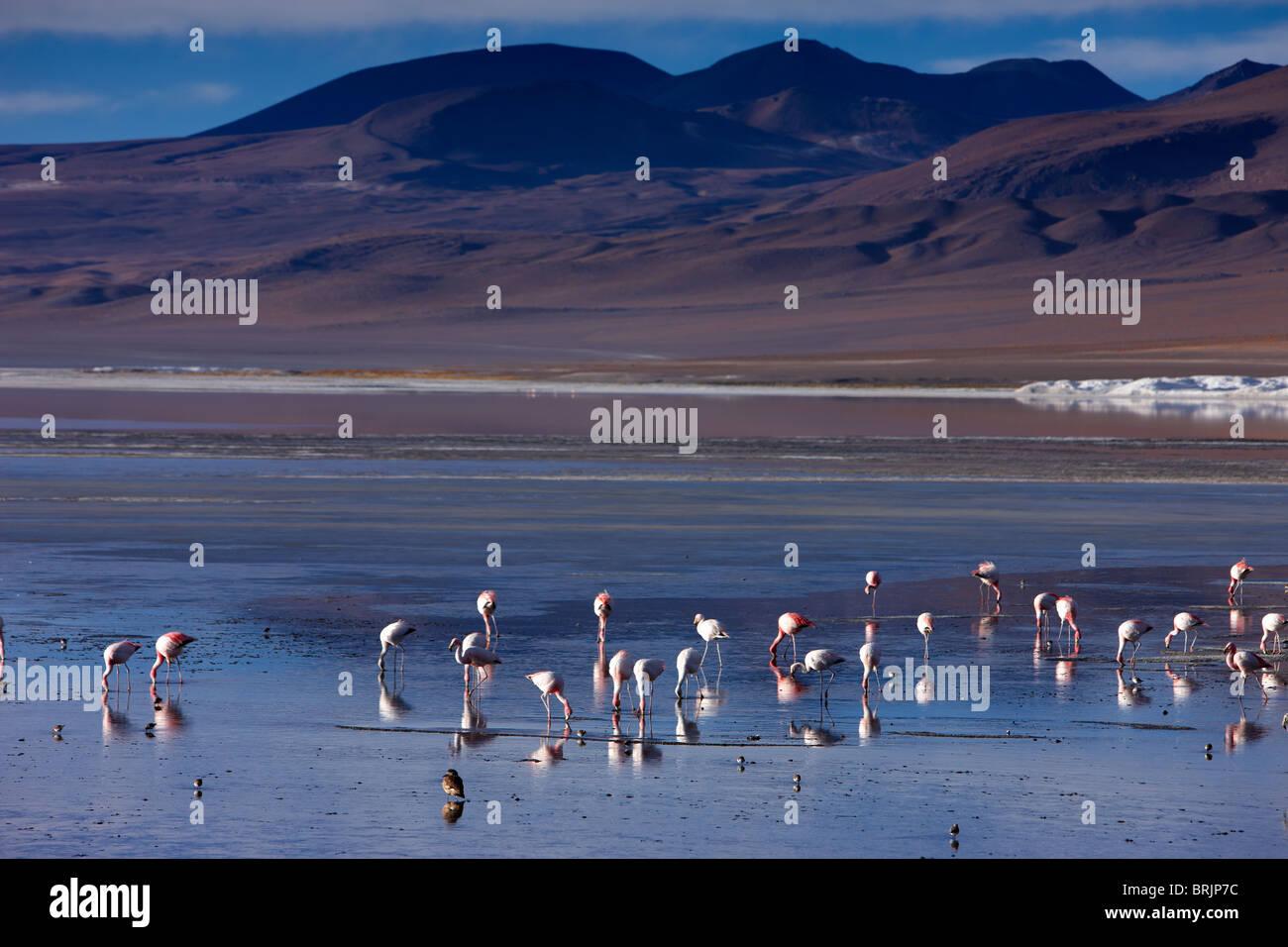 Des flamants roses sur la Laguna Colorada, Eduardo Avaroa, Réserve nationale de faune andine Bolivie Photo Stock