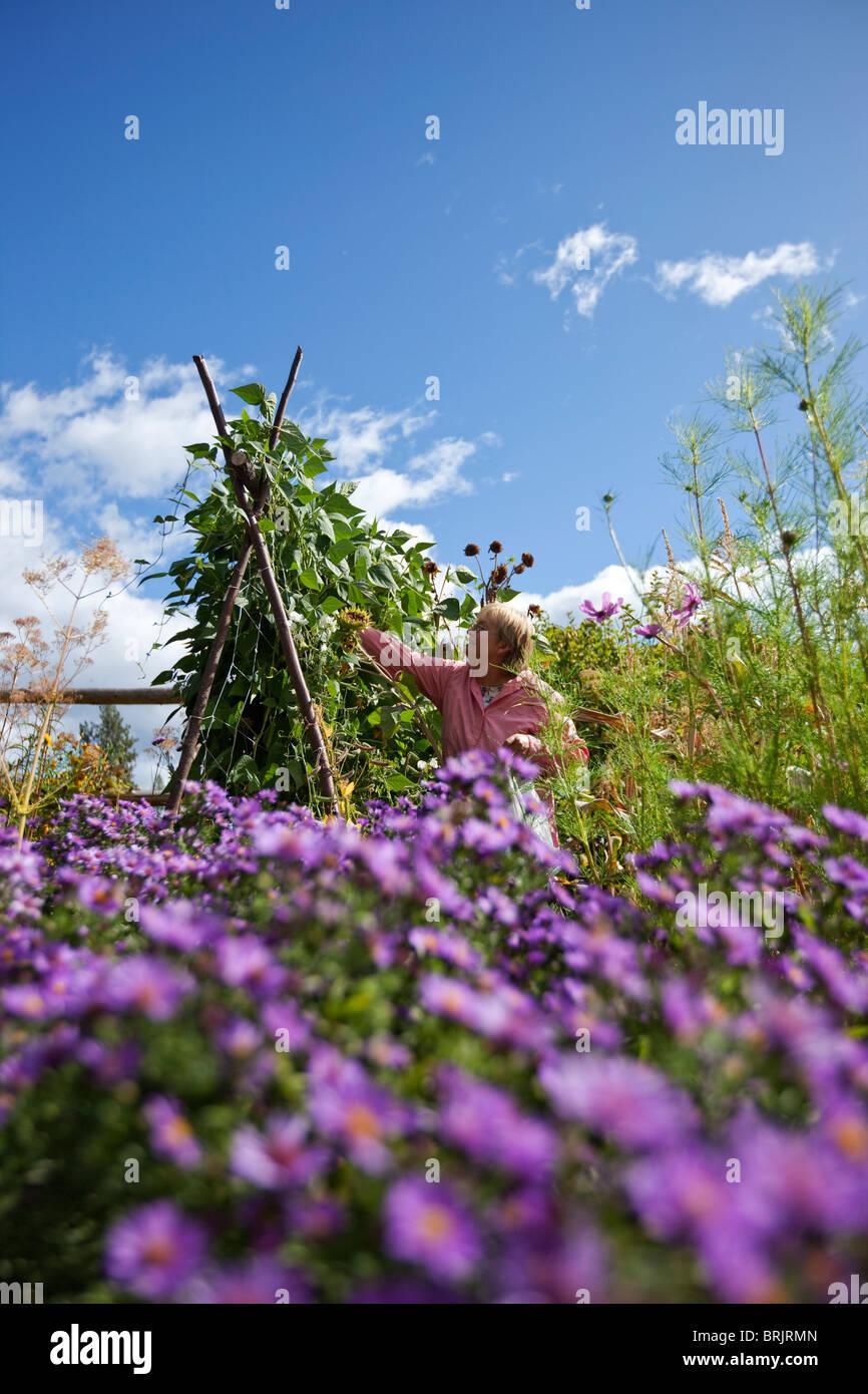 Femme à la retraite picks haricots verts du beau jardin biologique dans l'Idaho. Photo Stock