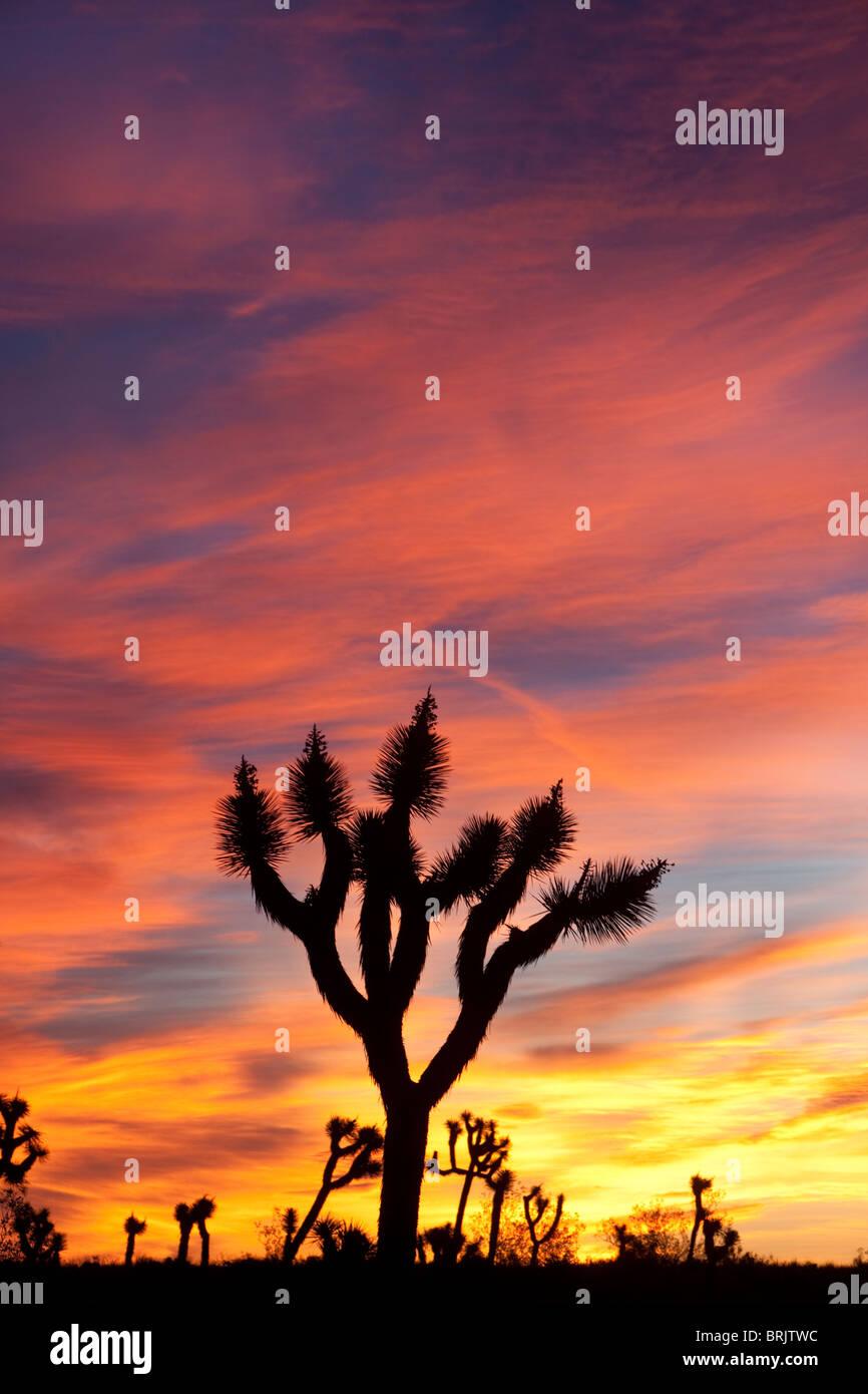 Lever du soleil dans le parc national Joshua Tree, en Californie. Photo Stock