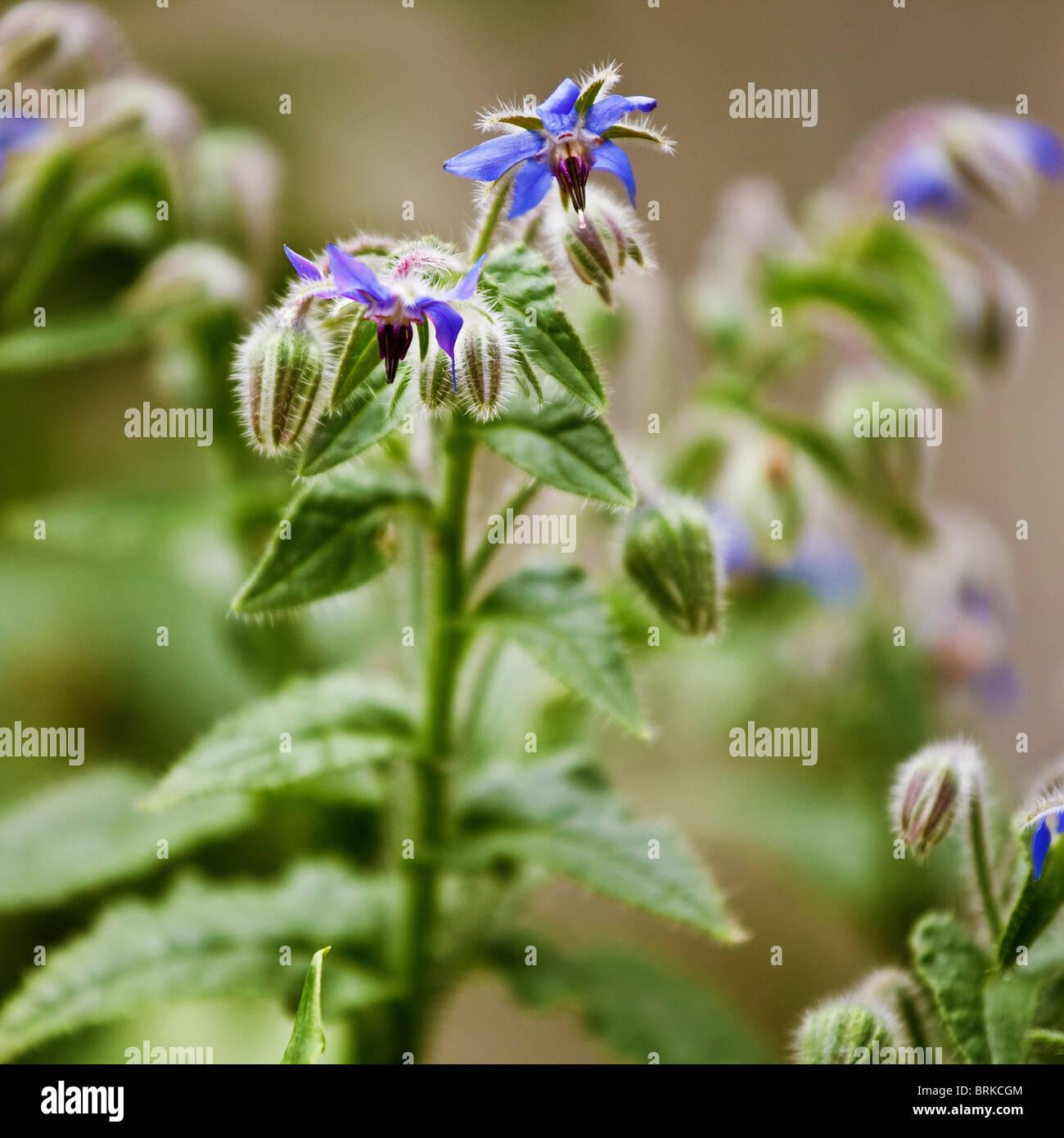 La bourrache aussi néant comme l'étoile fleur est une plante connue pour ses propriétés Photo Stock