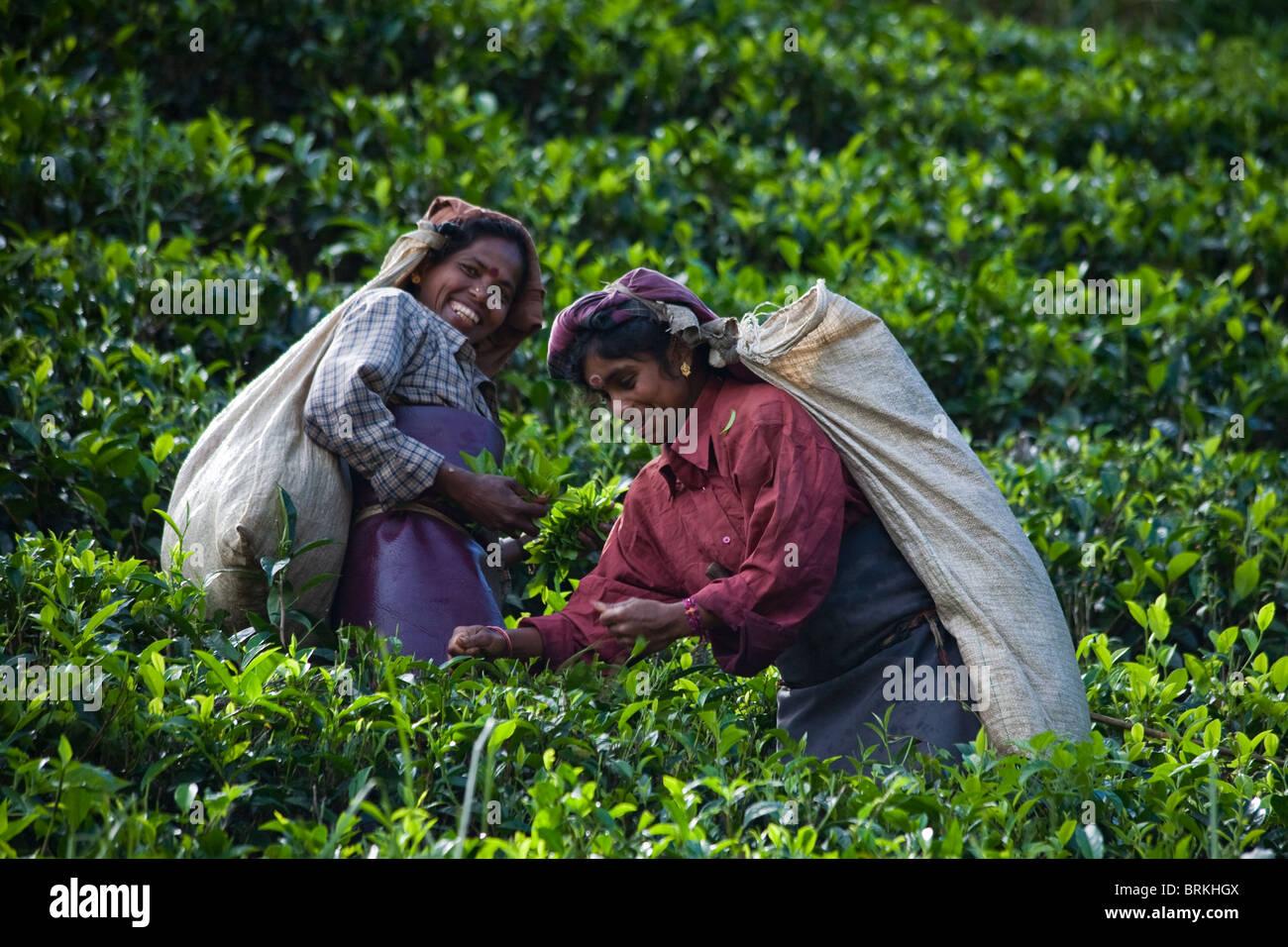 "Les ramasseurs de thé dans la région de Nuwara Eliya Sri Lanka, dite ""Hill Plateau Pays' Photo Stock"