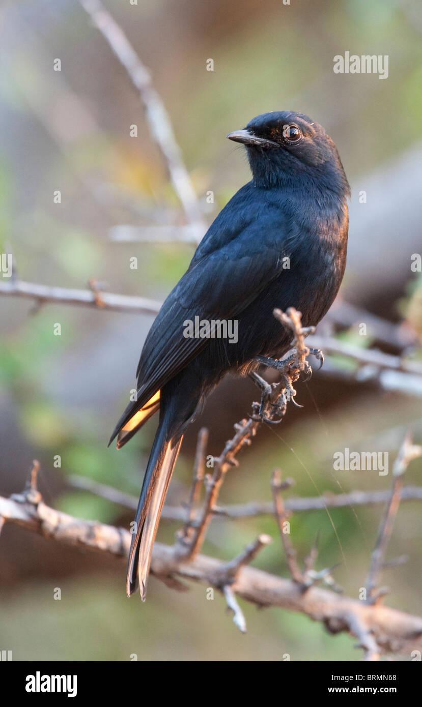 Le sud de l'Black-Flycatcher perché sur un des rameaux épineux Photo Stock