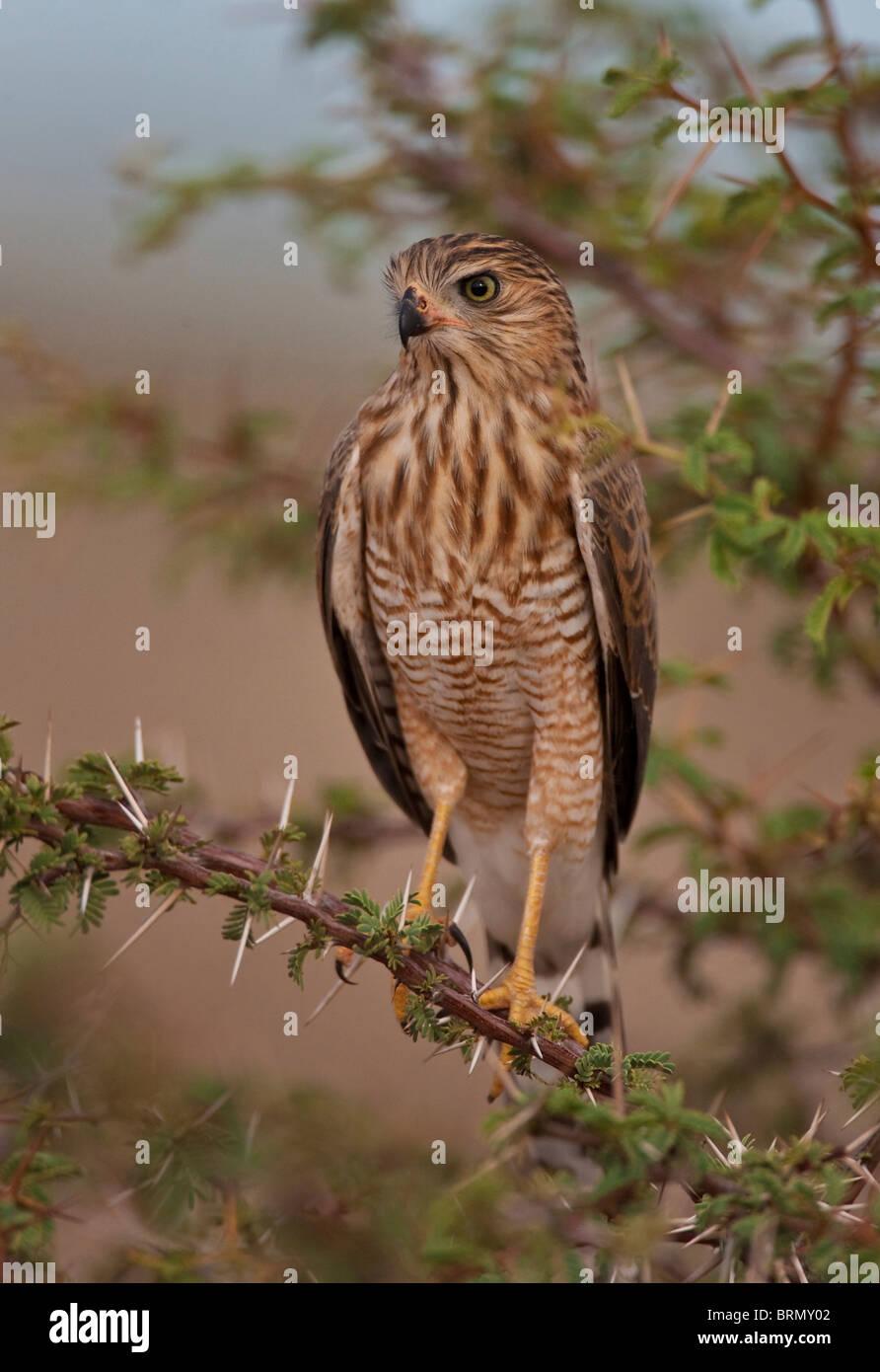 Gabar goshawk perché sur une branche épineuse Photo Stock